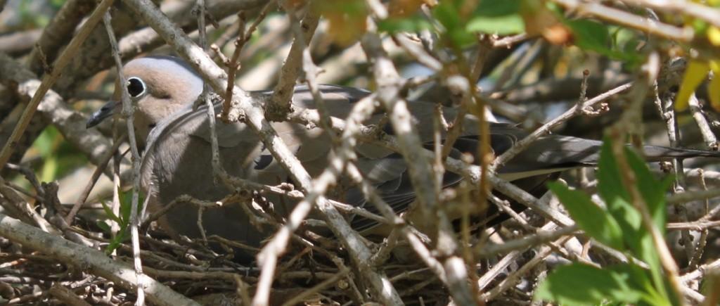 Bird' on her Nest in our Forsythia Bush