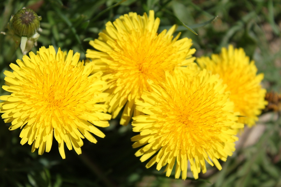 Yes, even the bright yellow color of dandelions are beautiful!